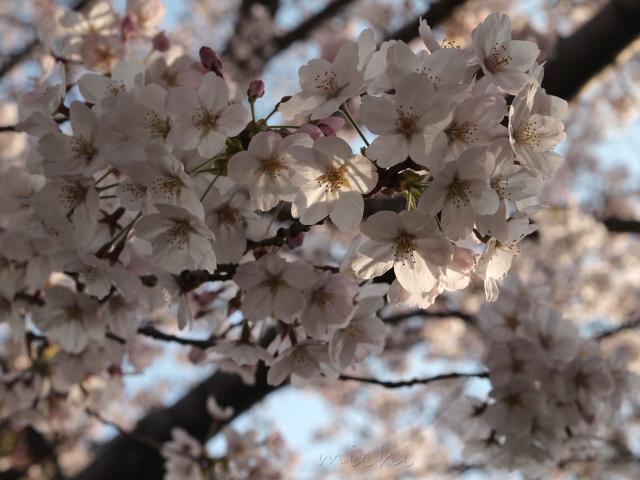 桜2.jpeg